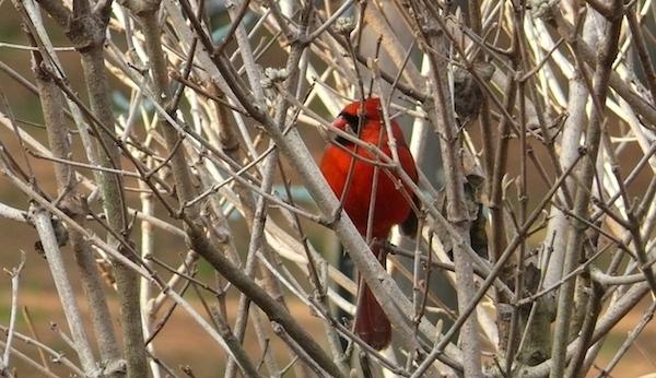 Cardinal-EHC_600